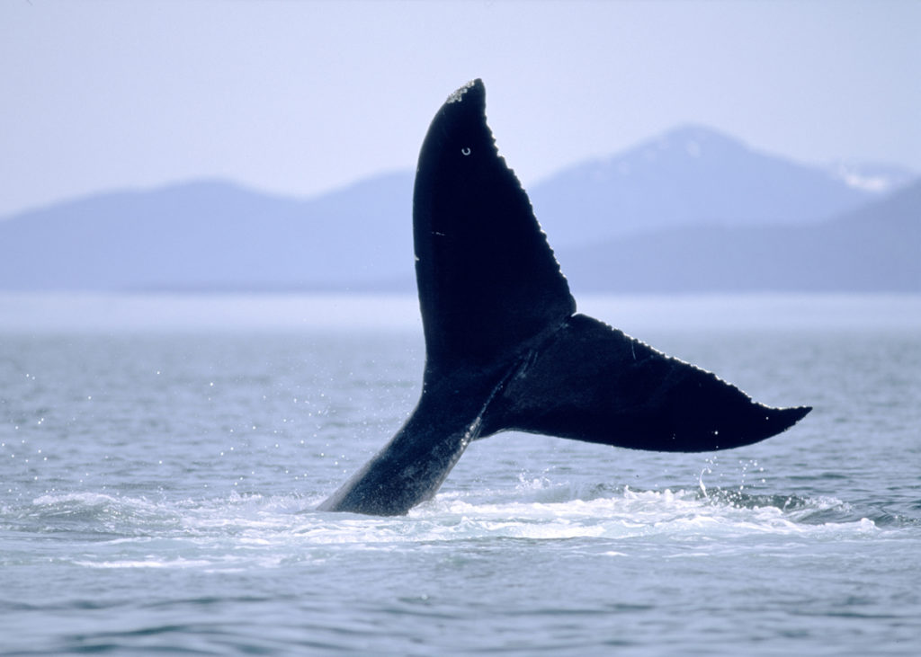 Celebrity Cruises Alaska Whaletail